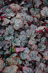 Raspberry Ice Coral Bells (Heuchera 'Raspberry Ice') at Alsip Home and Nursery