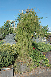 Puli Weeping Larch (Larix decidua 'Puli') at Alsip Home and Nursery