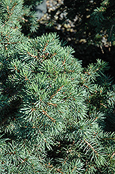 Parson's Dwarf Spruce (Picea abies 'Parson's Dwarf') at Alsip Home and Nursery