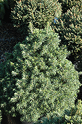 Tompa Dwarf Spruce (Picea abies 'Tompa') at Alsip Home and Nursery