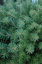 Green Carpet Korean Fir (Abies koreana 'Green Carpet') at Alsip Home and Nursery
