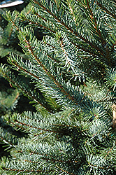 Bruns Spruce (Picea omorika 'Bruns') at Alsip Home and Nursery