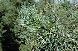 Blue Macedonian Pine (Pinus peuce 'Glauca') at Alsip Home and Nursery