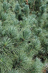 Ammerland Western White Pine (Pinus monticola 'Ammerland') at Alsip Home and Nursery