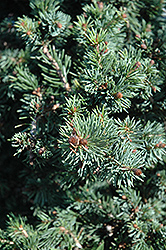 Gnom Dwarf Spruce (Picea omorika 'Gnom') at Alsip Home and Nursery