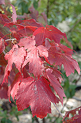Scarlet Jewel™ Red Maple (Acer rubrum 'Bailcraig') at Alsip Home and Nursery