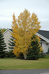 Clump Paper Birch (Betula papyrifera '(clump)') at Alsip Home and Nursery