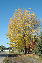Nor'easter Poplar (Populus x canadensis 'Nor'easter') at Alsip Home and Nursery