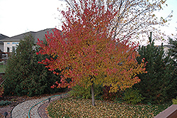 Embers Amur Maple (Acer ginnala 'Embers') at Alsip Home and Nursery