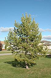 French Blue Scotch Pine (Pinus sylvestris 'French Blue') at Alsip Home and Nursery