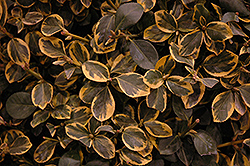 Country Gold Wintercreeper (Euonymus fortunei 'Country Gold') at Alsip Home and Nursery