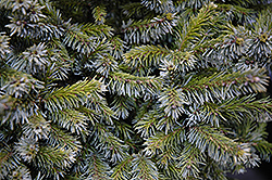 Gunther Dwarf Spruce (Picea omorika 'Gunther') at Alsip Home and Nursery