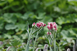 Red Pussytoes (Antennaria dioica 'Rubra') at Alsip Home and Nursery