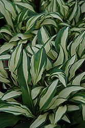 Lakeside Elfin Fire Hosta (Hosta 'Lakeside Elfin Fire') at Alsip Home and Nursery