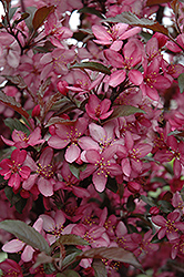 Royal Raindrops Flowering Crab (Malus 'Royal Raindrops') at Alsip Home and Nursery
