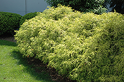 Dwarf Golden Sawara Falsecypress (Chamaecyparis pisifera 'Aurea Nana') at Alsip Home and Nursery