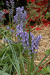 Spanish Bluebell (Hyacinthoides hispanica) at Alsip Home and Nursery
