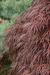 Red Select Cutleaf Japanese Maple (Acer palmatum 'Dissectum Red Select') at Alsip Home and Nursery
