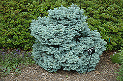 Thume Blue Spruce (Picea pungens 'Thume') at Alsip Home and Nursery
