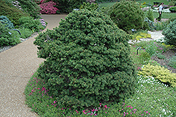 Gregoryana Spruce (Picea abies 'Gregoryana') at Alsip Home and Nursery