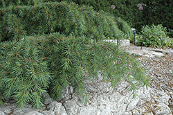 Sargent's Dwarf Cedar of Lebanon (Cedrus libani 'Sargentii') at Alsip Home and Nursery