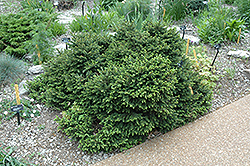 Pumila Norway Spruce (Picea abies 'Pumila') at Alsip Home and Nursery