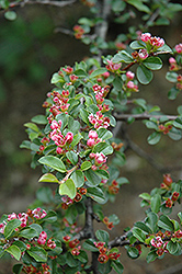 Creeping Cotoneaster (Cotoneaster nanshan) at Alsip Home and Nursery