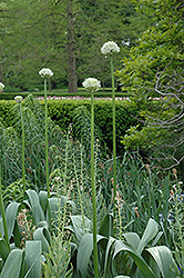 White Giant Ornamental Onion (Allium 'White Giant') at Alsip Home and Nursery