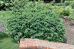 Natchez Boxwood (Buxus sempervirens 'Natchez') at Alsip Home and Nursery