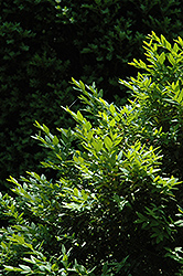 Belleville Boxwood (Buxus sempervirens 'Belleville') at Alsip Home and Nursery