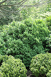 Henry Shaw Boxwood (Buxus sempervirens 'Henry Shaw') at Alsip Home and Nursery