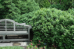 Edgar Anderson Boxwood (Buxus sempervirens 'Edgar Anderson') at Alsip Home and Nursery