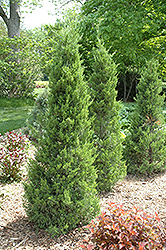 Fairview Juniper (Juniperus chinensis 'Fairview') at Alsip Home and Nursery