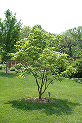 Painted Maple (Acer pictum) at Alsip Home and Nursery