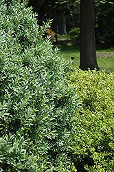 Joy Boxwood (Buxus sempervirens 'Joy') at Alsip Home and Nursery