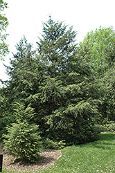Canadian Hemlock (Tsuga canadensis) at Alsip Home and Nursery