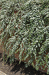 Coral Beauty Cotoneaster (Cotoneaster dammeri 'Coral Beauty') at Alsip Home and Nursery