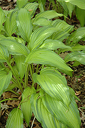 Spritzer Hosta (Hosta 'Spritzer') at Alsip Home and Nursery