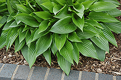Leather Sheen Hosta (Hosta 'Leather Sheen') at Alsip Home and Nursery