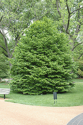 Oriental Hornbeam (Carpinus orientalis) at Alsip Home and Nursery