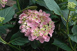 Shamrock Hydrangea (Hydrangea macrophylla 'Shamrock') at Alsip Home and Nursery
