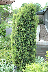 Gold Cone Juniper (Juniperus communis 'Gold Cone') at Alsip Home and Nursery