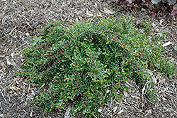 Little Gem Cotoneaster (Cotoneaster adpressus 'Little Gem') at Alsip Home and Nursery