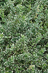 Variegated Wintercreeper (Euonymus fortunei 'Variegatus') at Alsip Home and Nursery