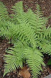 Tatting Fern (Athyrium filix-femina 'Frizelliae') at Alsip Home and Nursery