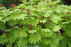 Golden Full Moon Maple (Acer shirasawanum 'Aureum') at Alsip Home and Nursery