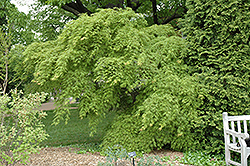 Germaine's Gyration Cutleaf Japanese Maple (Acer palmatum 'Germaine's Gyration') at Alsip Home and Nursery