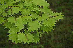 Itaya Full Moon Maple (Acer japonicum 'Itaya') at Alsip Home and Nursery