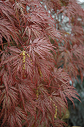 Inaba Shidare Cutleaf Japanese Maple (Acer palmatum 'Inaba Shidare') at Alsip Home and Nursery