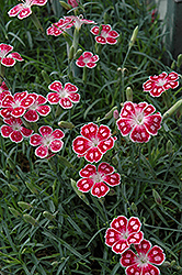 Spotty Pinks (Dianthus 'Spotty') at Alsip Home and Nursery